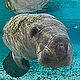 Another Mother/Baby Manatee - last post by seagrant