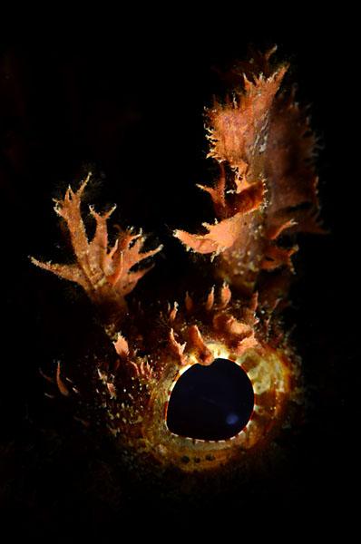 Scorpionfish_5518a.jpg