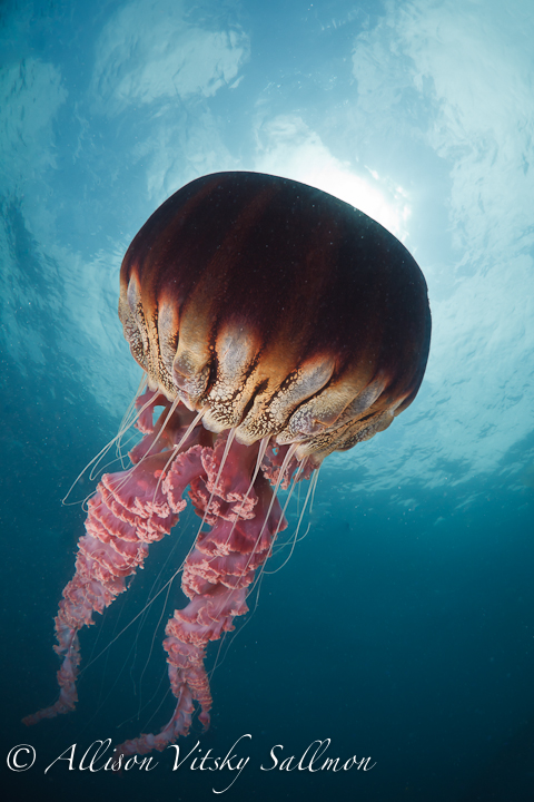 black sea nettle (1 of 1).jpg