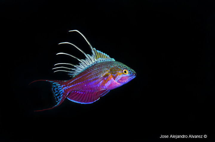 Blue flasher wrasse.jpg