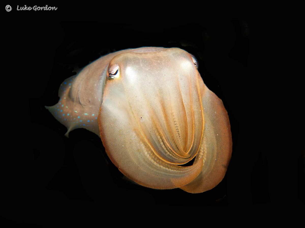 Broadclub-Cuttlefish---Sepia-latimanus.jpg