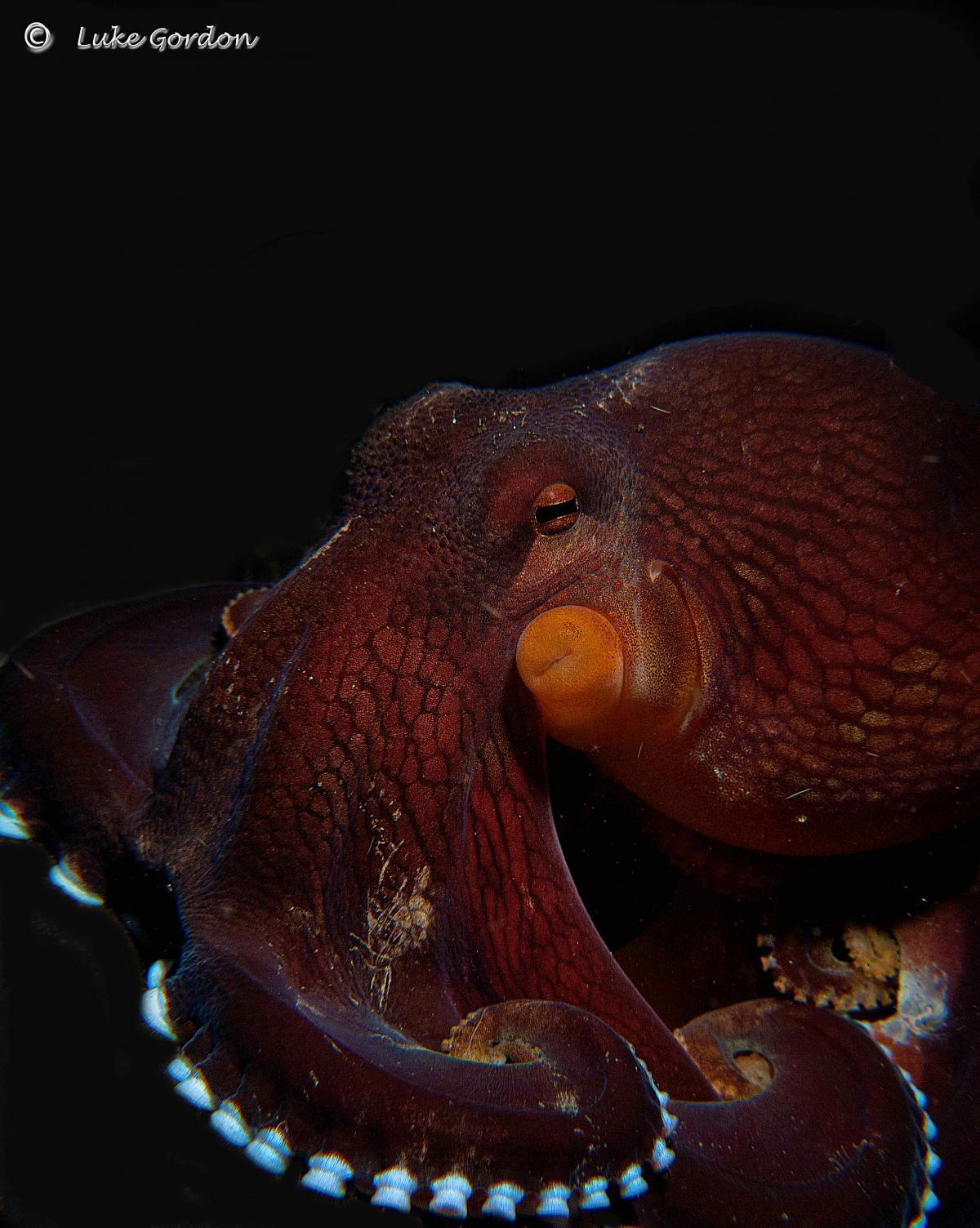 Coconut-Octopus---Amphioctopus-marginatus-8.jpg