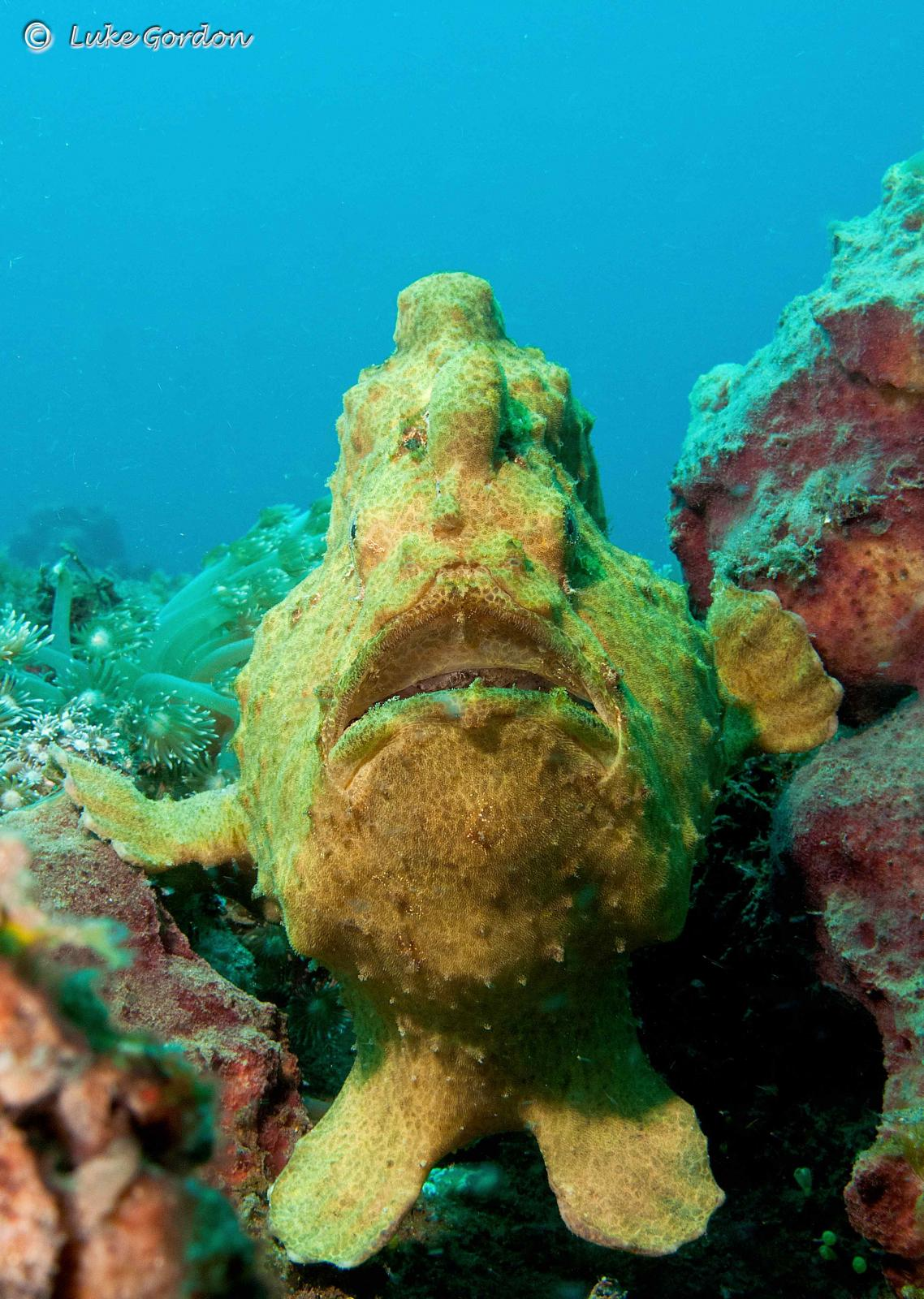 Giant-Frogfish---Antennarius-commersoni-.jpg