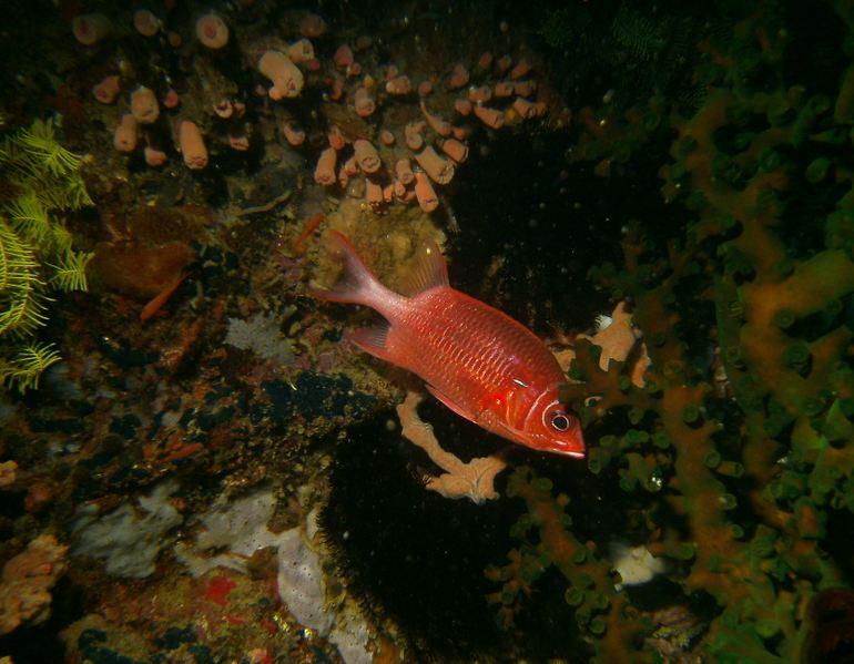 PDsoldierfish.JPG