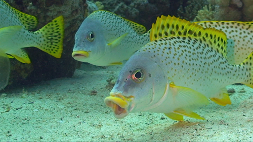 Sweetlips 500.jpg