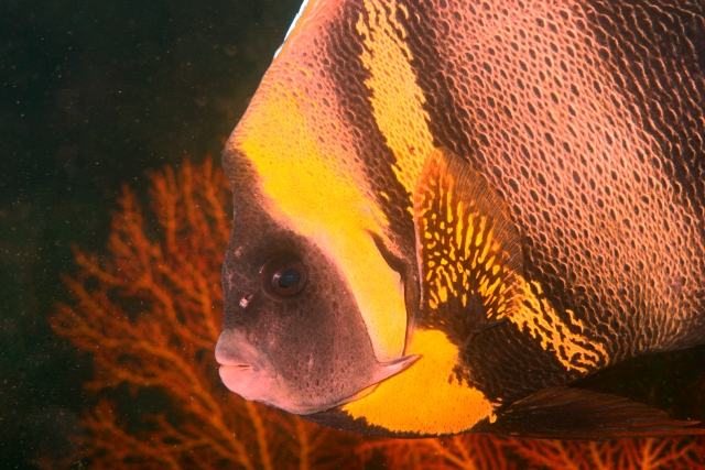 Cortez Angelfish Web.jpg