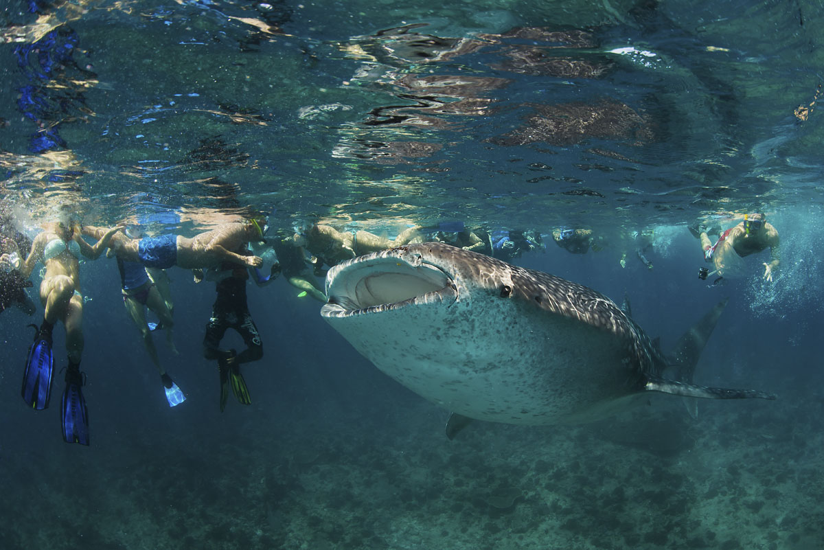2013 Maldives 247 Dhidhdoo whale shark and crowds.jpg