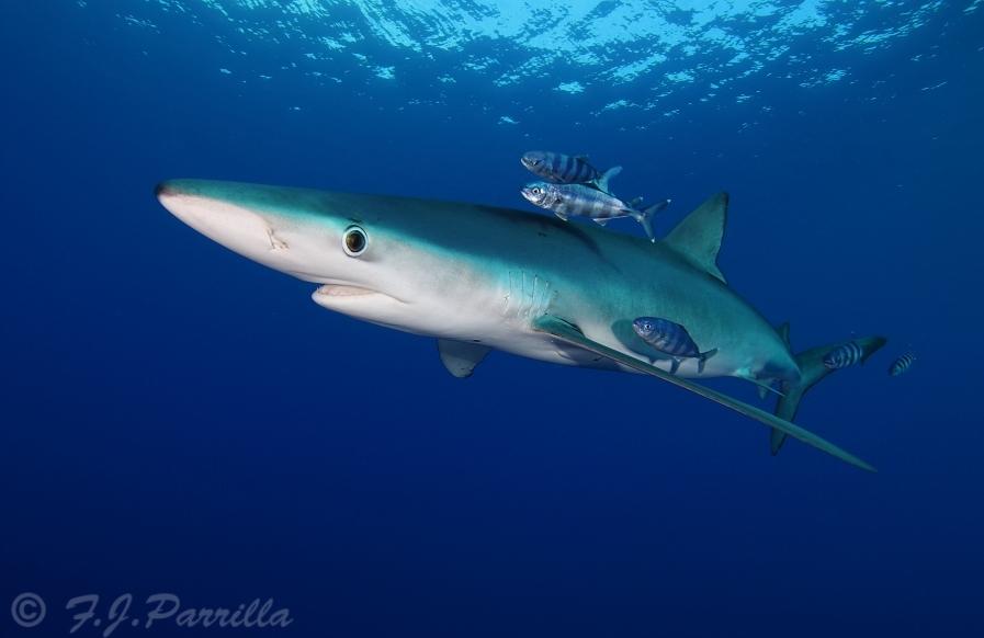 Blue Shark52.jpg