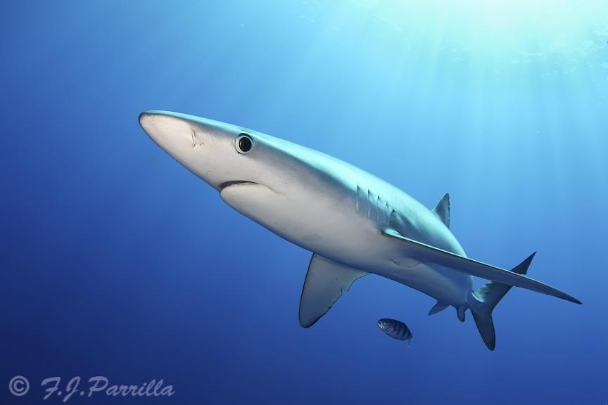 Blue Shark26.jpg