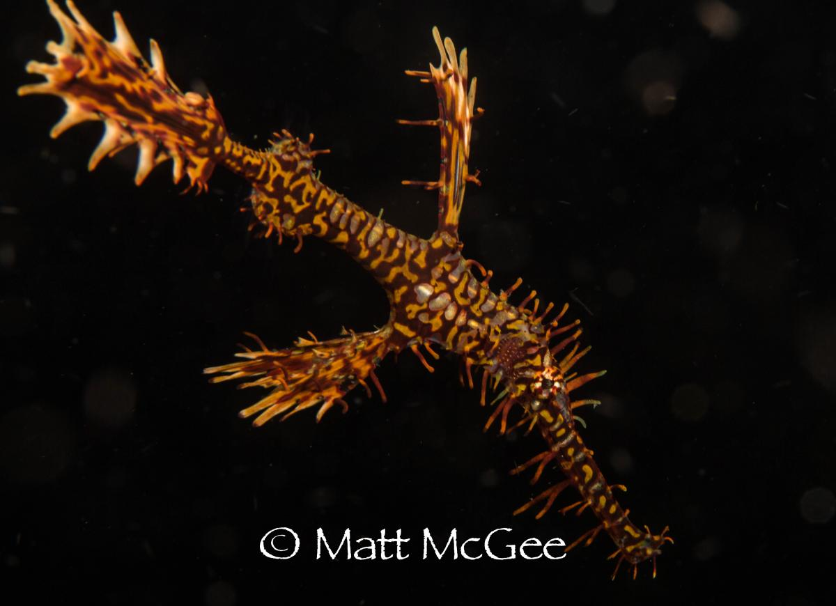 ornate ghost pipefish photo by underwater photographer Matt McGee Lembeh Strait Indonesia.jpg
