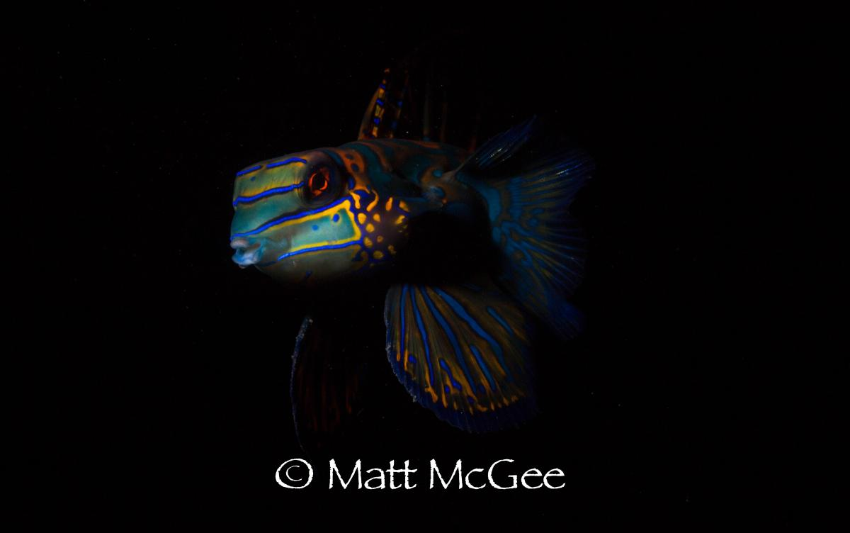 mandarin fish underwater photography by Matt McGee Lembeh Strait North Sulawesi Indonesia.jpg