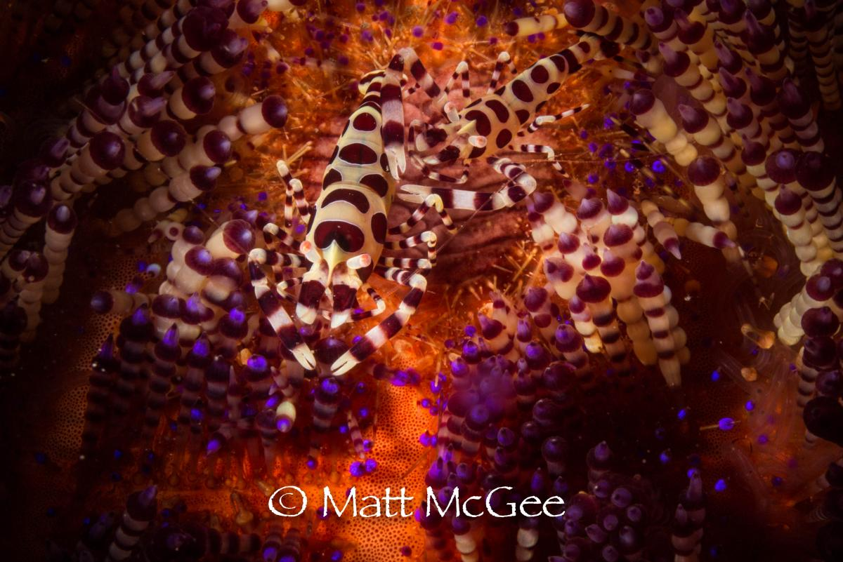 Coleman shrimp underwater photo by Matt McGee photographer.jpg