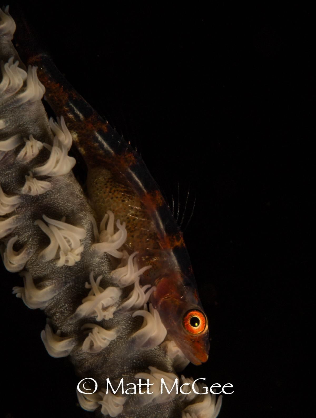 whip coral goby photo image by underwater photographer Matt McGee Lembeh Strait Indonesia .jpg