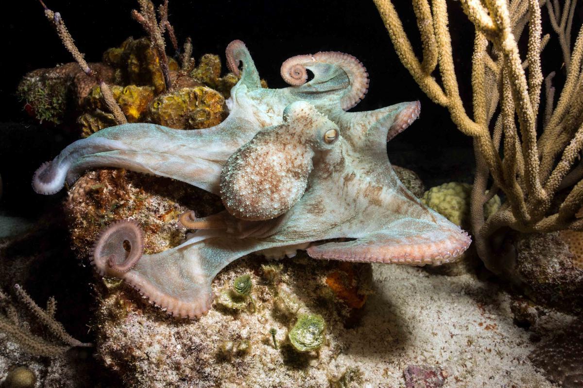 Caribbean Reef Octopus 914a 1mb.jpg