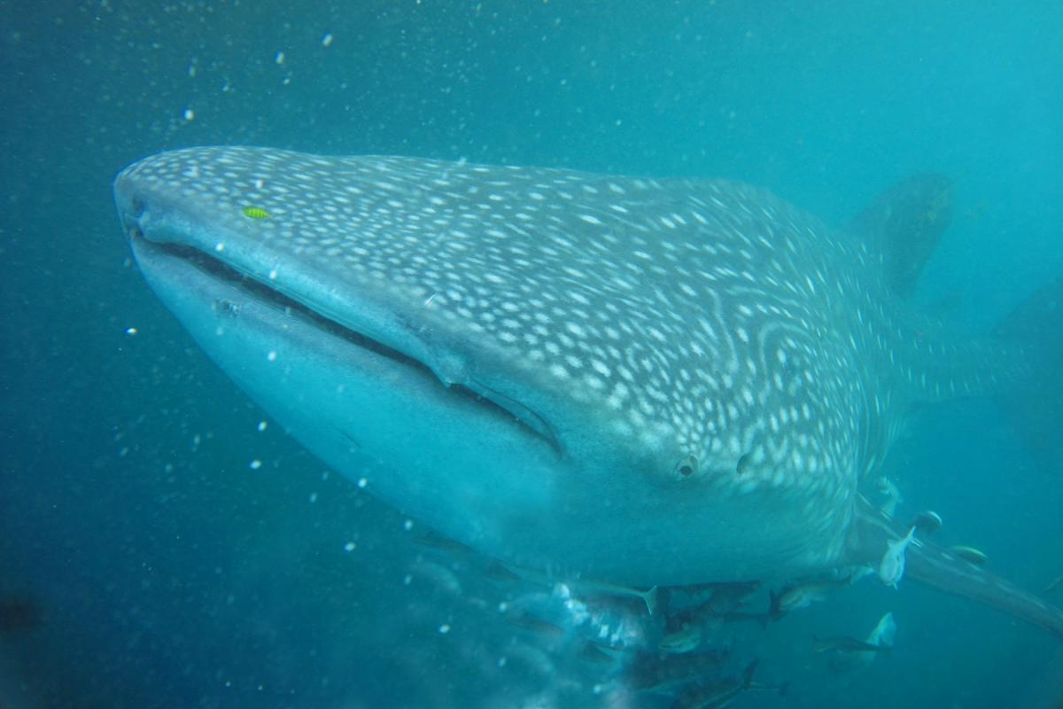 whale-shark-05202.jpg