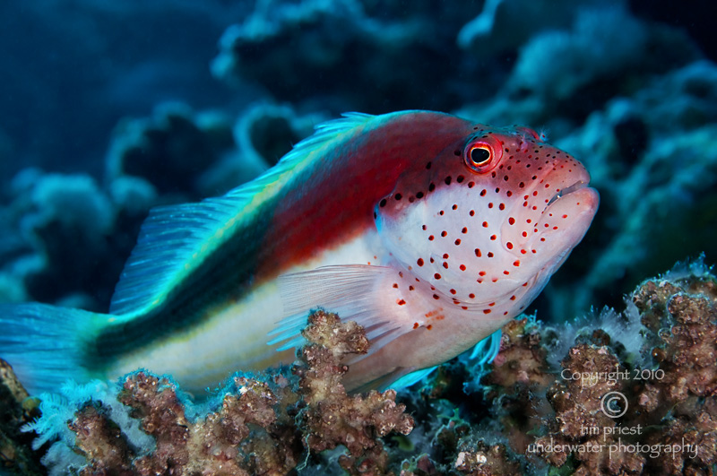 Red_Sea_2010_416_Marsa_Shouna_hawkfish.jpg