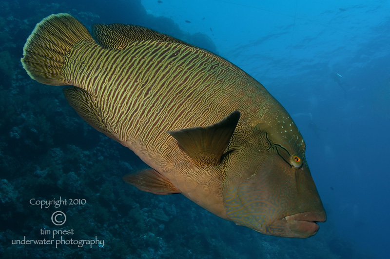 Red_Sea_2010_168_Little_Brother_Napoleon_wrasse.jpg