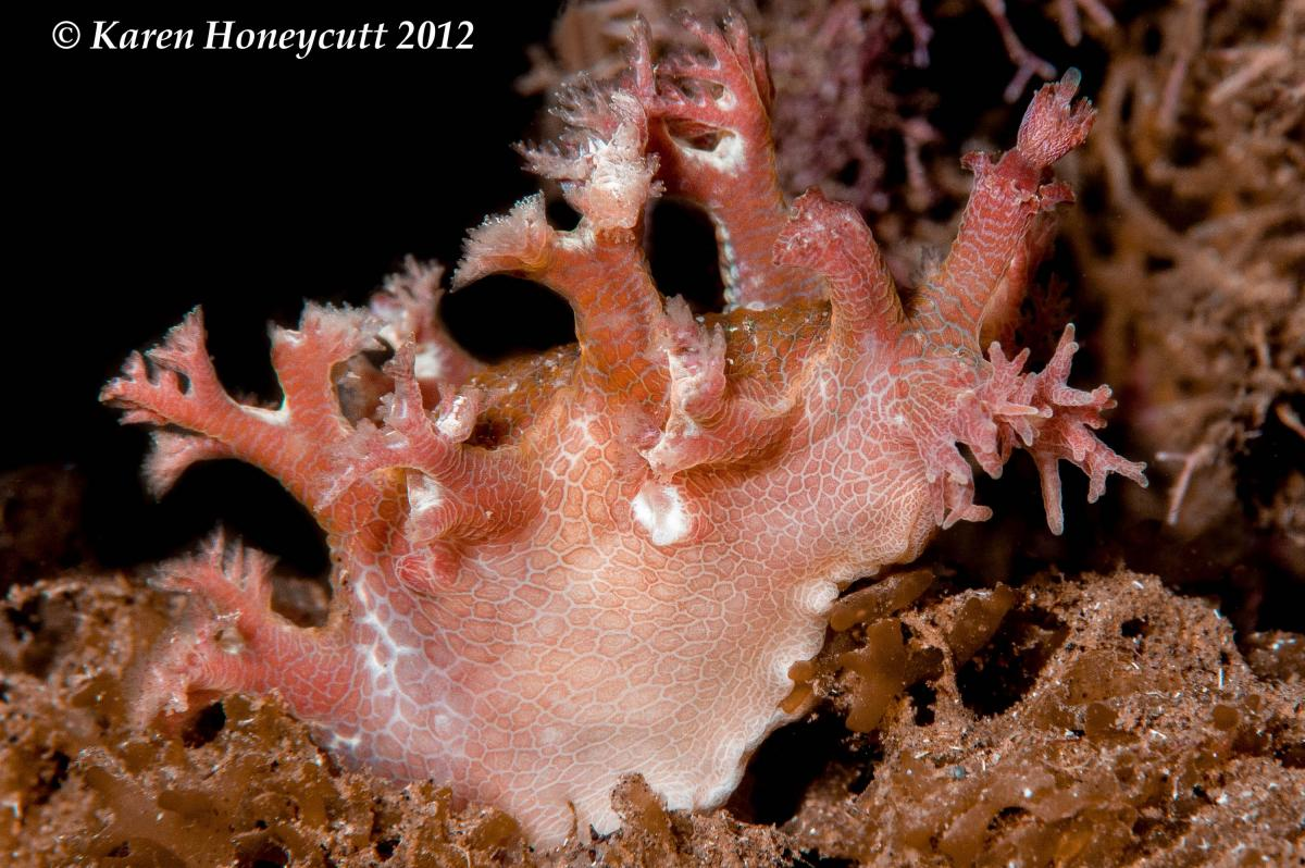 Marionia sp. - Komodo, Indonesia.jpg