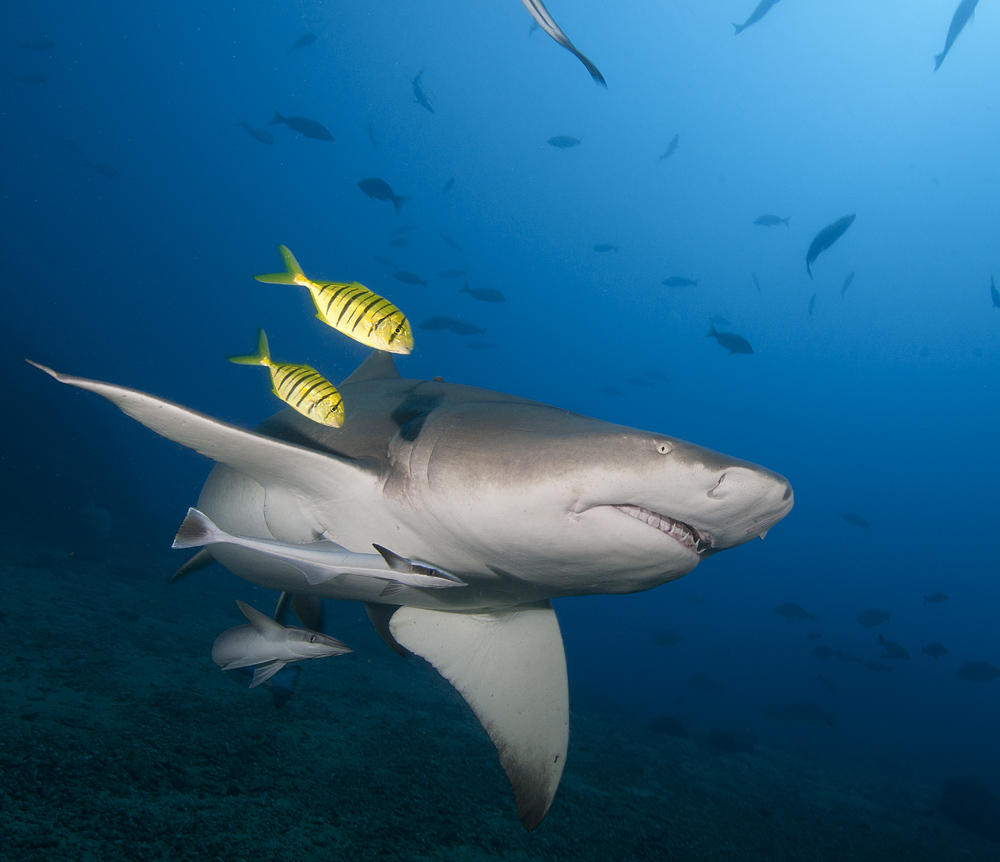Lemon_shark_1.jpg