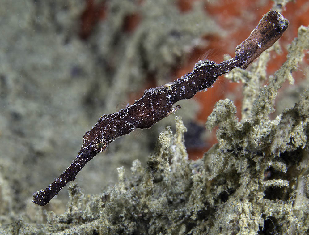 Pipefish Armoured maybe 290914-1.jpg