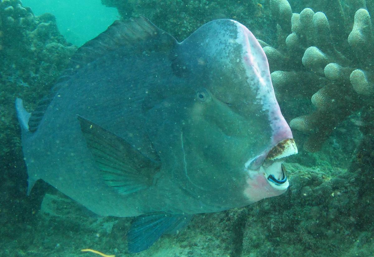 bumphead-parrotfish_5928.jpg