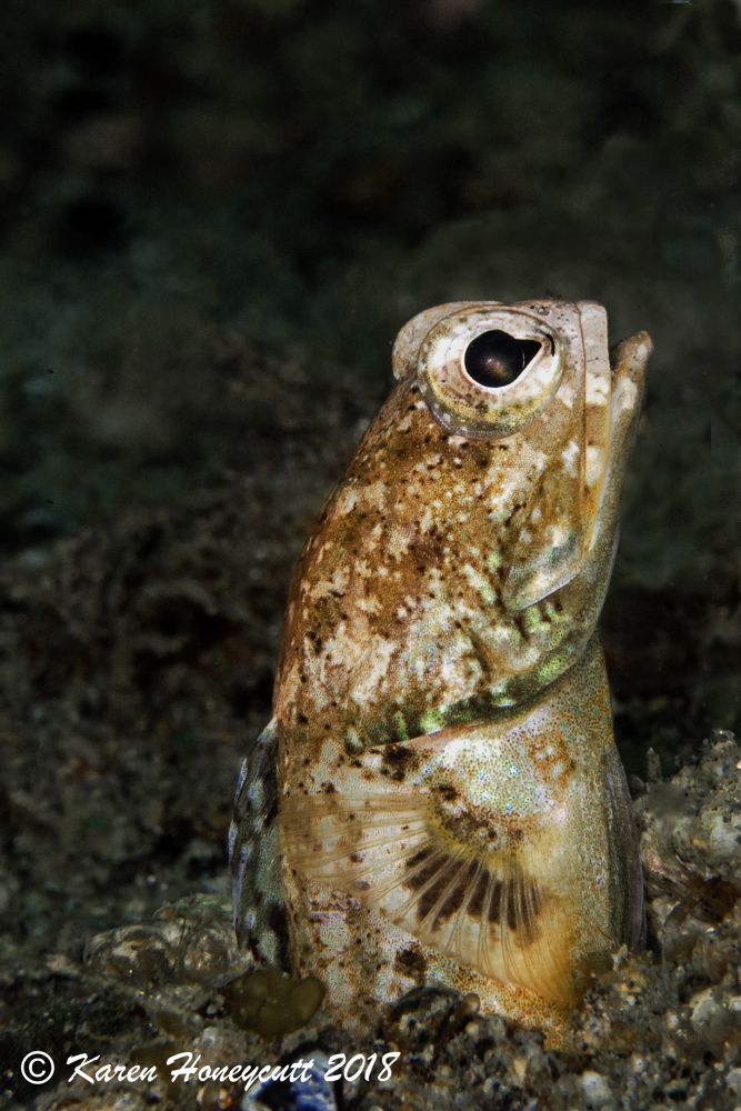 Unidentified Opistognathus sp. (Jawfish) - Ambon Bay, Indonesia.jpg