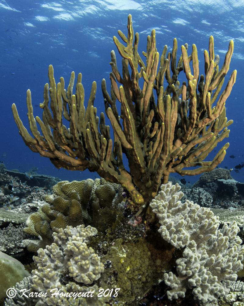 Unidentified Coral - Dawera, Banda Sea, Indonesia.jpg