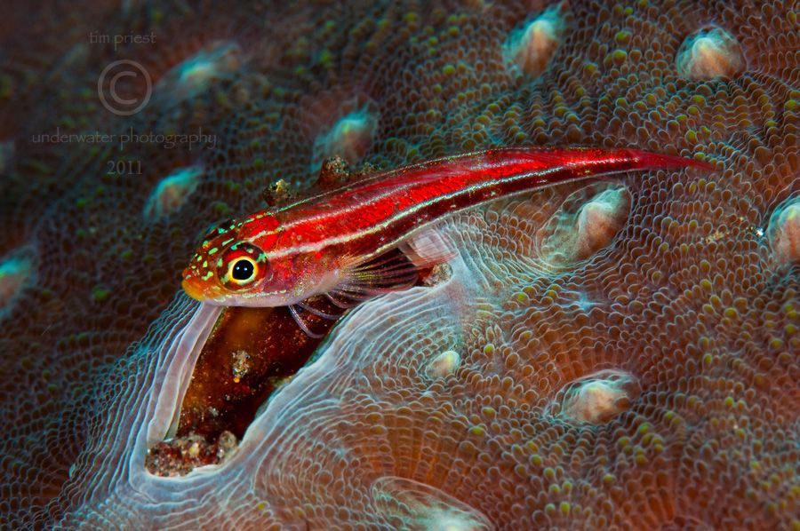 Indonesia_2011_135_0801_Sangeang_Striped_triplefin.jpg