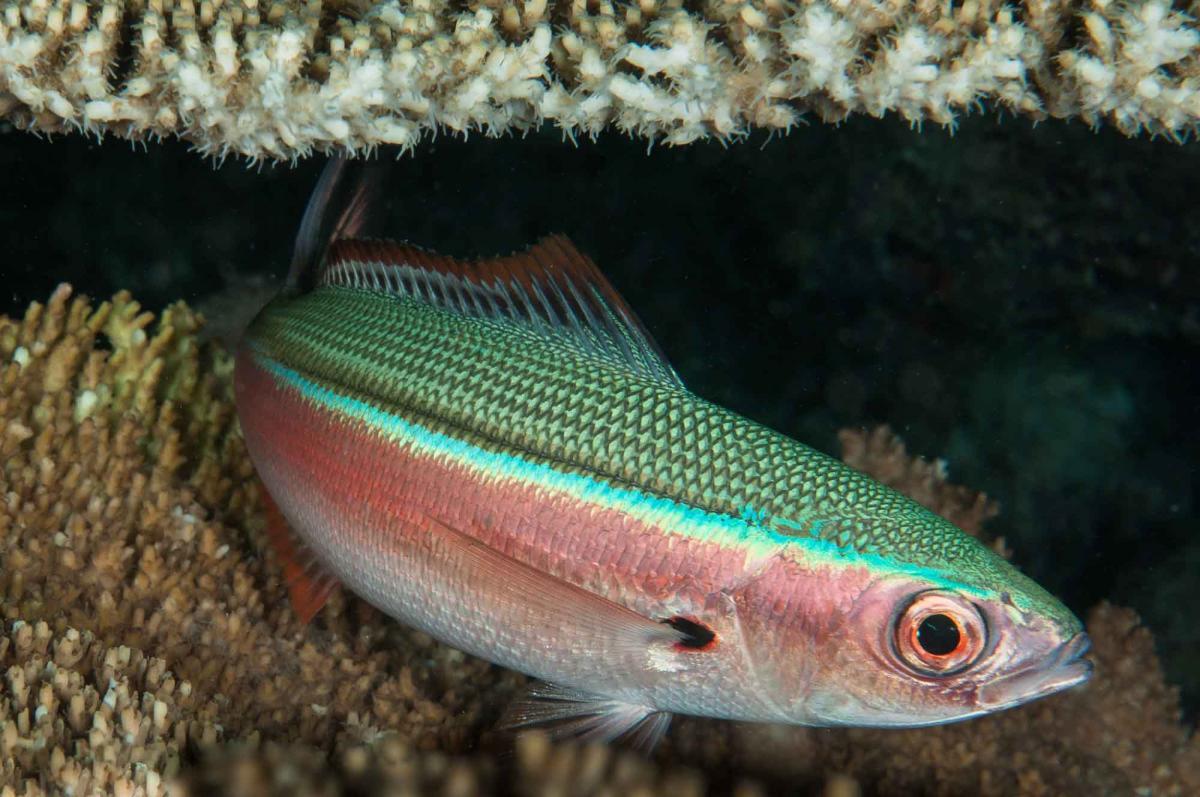 Gymnocaesio gymnoptera (Slender Fusilier) - Maldives.jpg