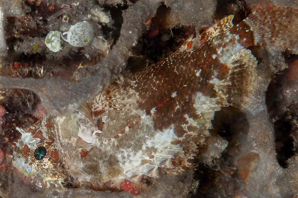Scorpionfish - Flores, Indonesia.jpg