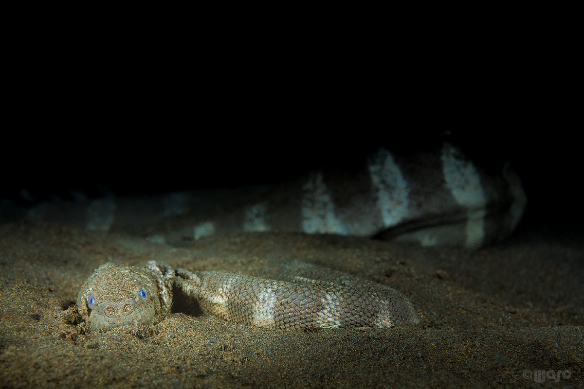_MG_8356_Sea_snake.jpg