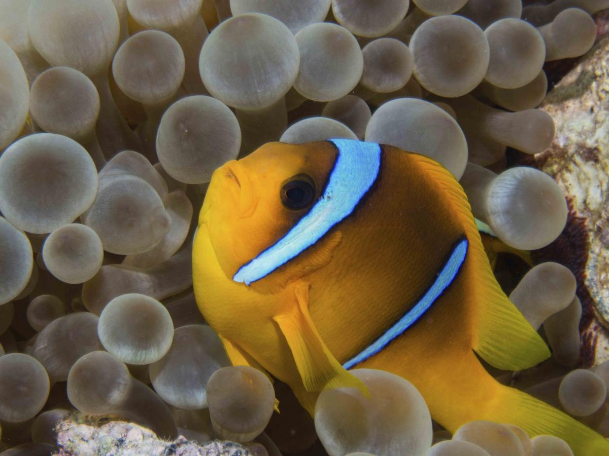 Clownfish_4.jpg