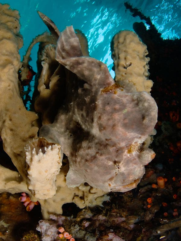 2009_Indonesia_507_Lembeh_Giant_frogfish.jpg