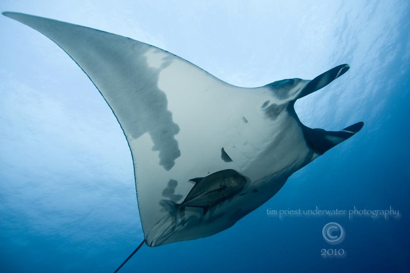 2010_Baja_California_167_San_Benedicto_El_Canyon_manta___trevally.jpg