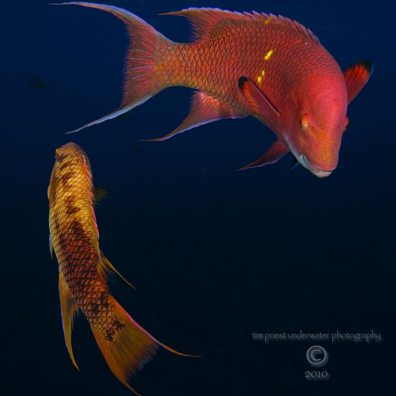 2010_Baja_California_257_San_Benedicto_El_Canyon_Mexican_hogfish_processed_b.jpg
