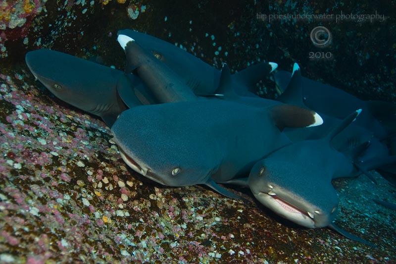 2010_Baja_California_403_La_Roca_Partida_white_tip_reef_sharks.jpg
