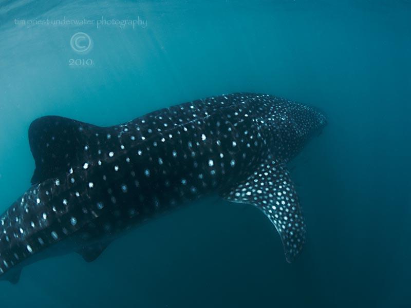 2010_Baja_California_812_La_Paz_whale_shark.jpg