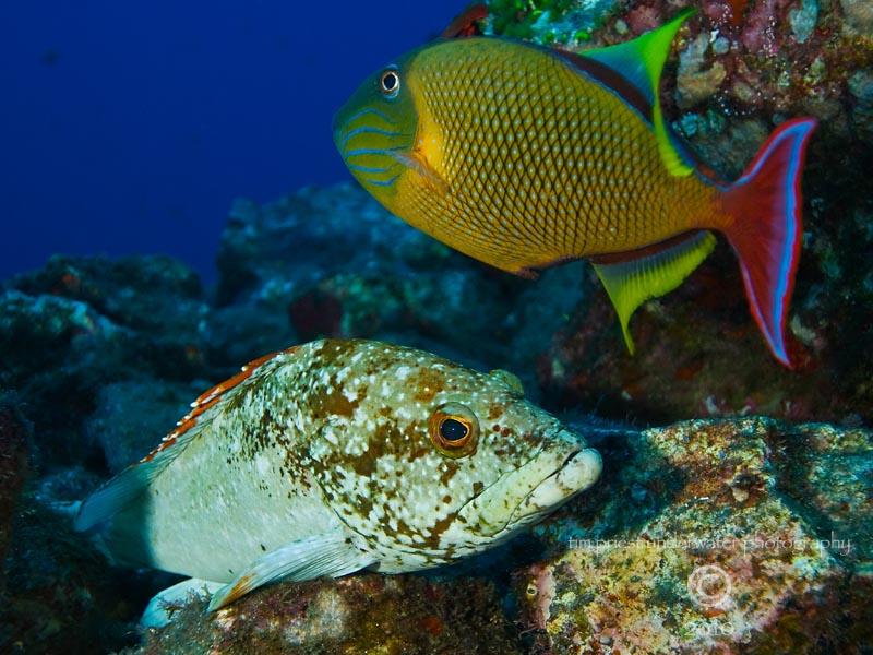 2010_Baja_California_176_San_Benedicto_El_Canyon_rockfish___triggerfish.jpg