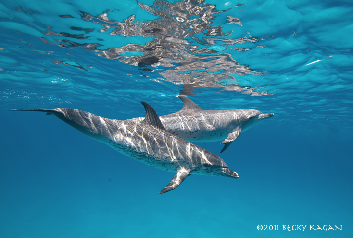 two_spotted_dolphins_in_blue_wm_sm.jpg