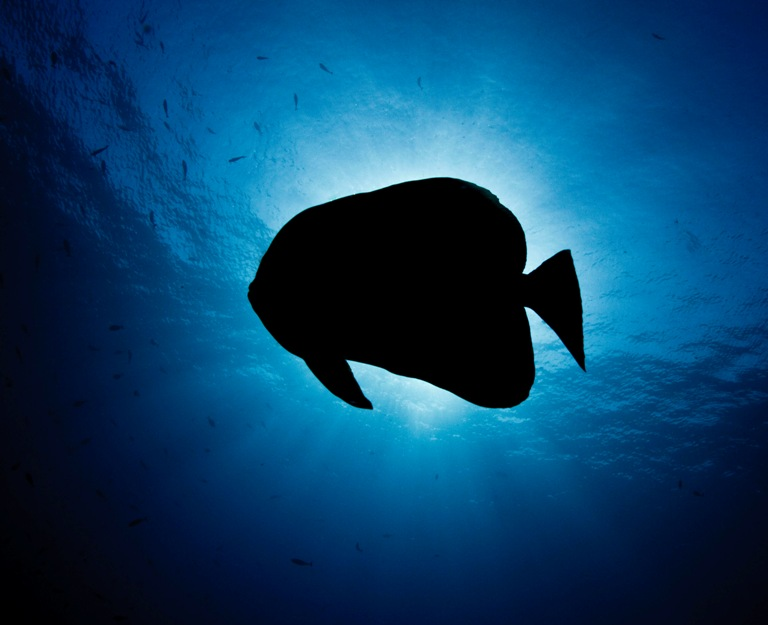 silhouette of batfish.JPG