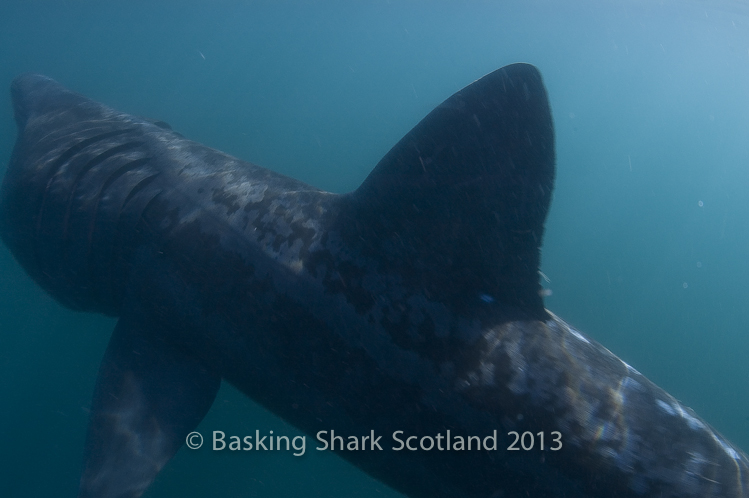BaskingSharkScotland.co.uk.jpg