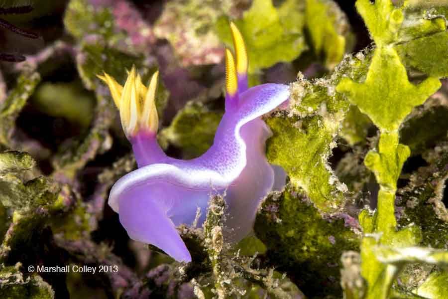 Nudi Purple-F Copyright-Small.jpg