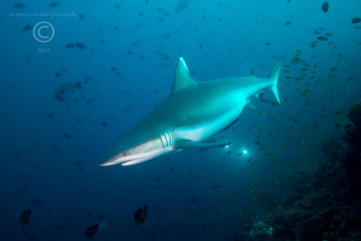 2013 Maldives 59 607 Madivaru Rasdhoo grey reef shark.jpg