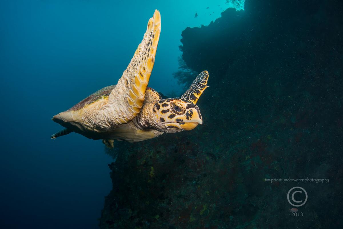 2013 Maldives 50 410 Maaya Thila hawksbill turtle.jpg