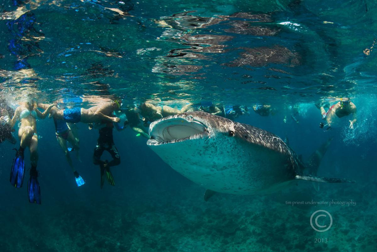 2013 Maldives 28 247 Dhidhdoo whale shark and crowds.jpg