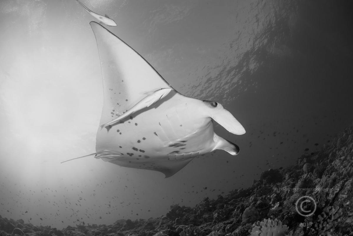 2013 Maldives 31 353 Madivaru Faruhukuvali manta ray b.jpg