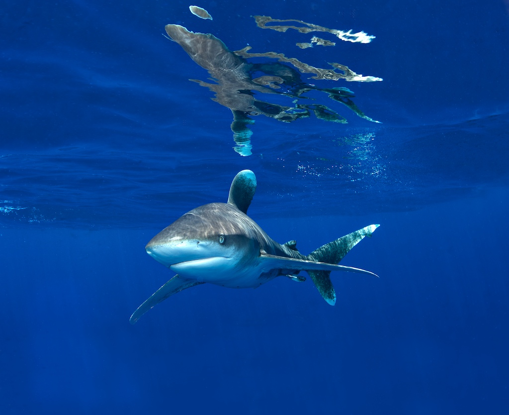 Bahamas_Oceanic_Whitetip2009_05_1913415___Version_2.jpg