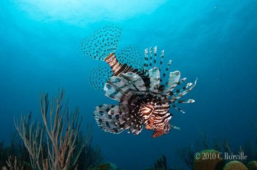lionfishreef02SM.jpg