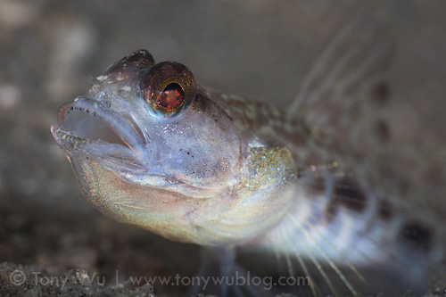 goby_with_mouth_open.jpg