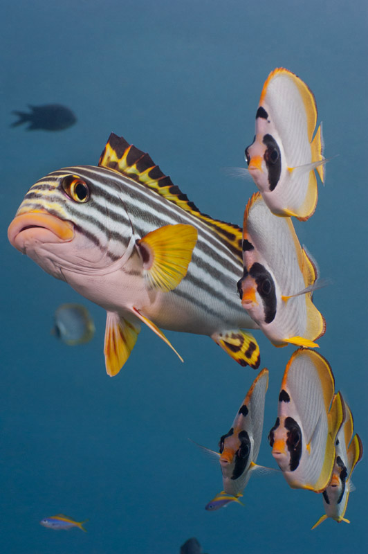 Sweetlips___Butterflfish__V2.jpg